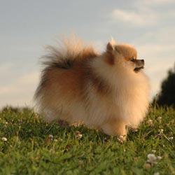 Zwergspitz - Pomeranian