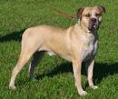 American Bulldog - Amerikanische Bulldogge