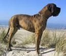 Deutsche Dogge - Great Dane