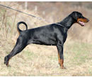 Dobermann Pinscher Dobie