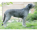 irish Wolfhound - Irischer Wolfshund - irish Wolfshound