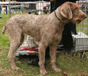 Slowakischer Rauhbart - Slovakian Wire-haired Pointing Dog- Slovensky hrubosrsty stavac