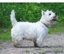 West Highland White Terrier- westi