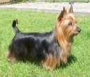 Australian_Silky_Terrier