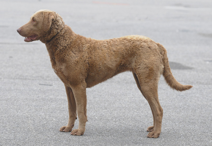 Chesapeake bay retriever chessy