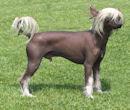 Chinese-crested chinesischer Nackthund