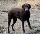 Curly Coated Retriever locken