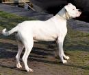 Dogo Argentino Argentinische Dogge