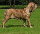Fila Brasileiro - Brasilianischer Mastiff