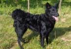 Kroatischer Schaeferhund Hrvatski Ovcar 1