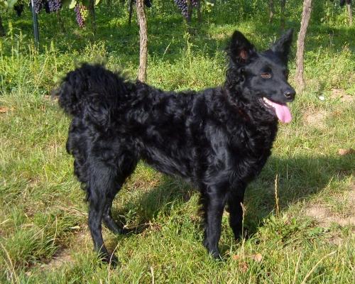 Kroatischer Schäferhund - Hrvatski Ovcar