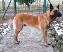 Malinois - Belgischer Schäferhund