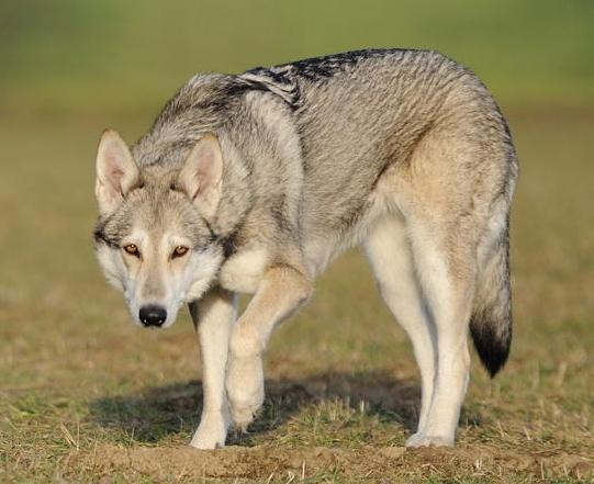 Saarloos-Wolfhond Saarloos Wolfshund