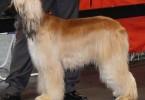 afghanischer windhund 1