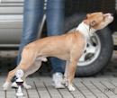 Pitbull Pit Bull Terrier American