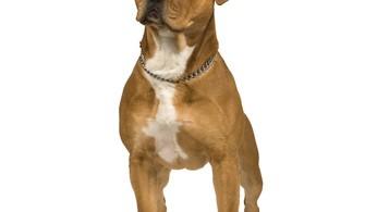 american staffordshire terrier amerikanischer staff stafford 1