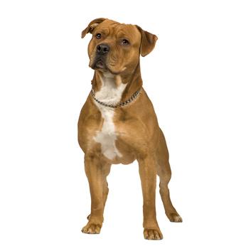 american-staffordshire-terrier-amerikanischer-staff-stafford