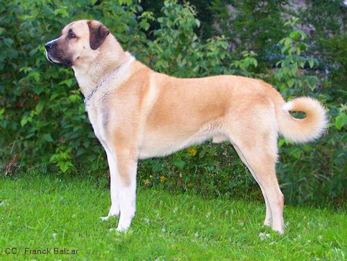 anatolischer hirtenhund kangal