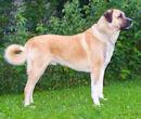 Kangal - Anatolischer Hirtenhund - Akbash - Karabash - Herdenschutzhund