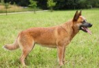 australian cattle dog1 1