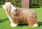 bearded collie taipy br 1