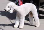 bedlington terrier2 1