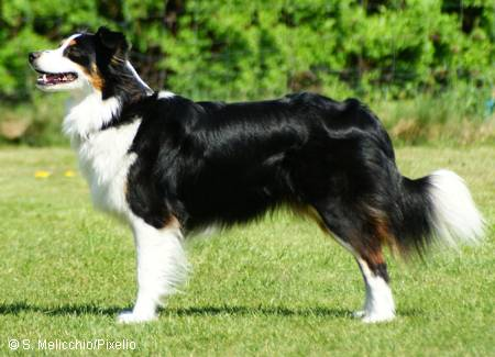 border collie2