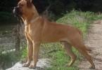 bullmastiff 1