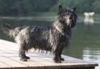 cairn terrier 1