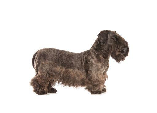 Cesky Terrier Tschechischer Terrier