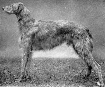 Deerhound - Schottischer Hirschhund