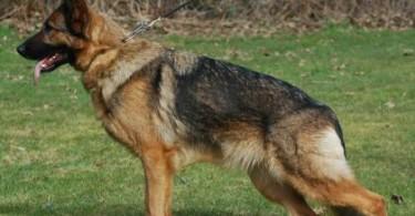 deutscher schaeferhund 1