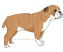 english Bulldog - Englische Bulldogge