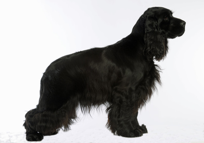 cocker anglais noir English Cocker Spaniel schwarz