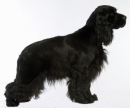 english cocker spaniel - englischer cocker