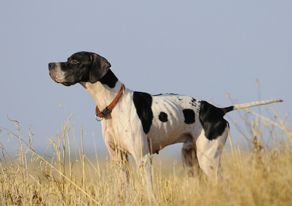 Pointer english pointer englischer Pointer