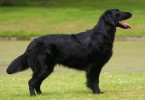 flat coated retriever 2