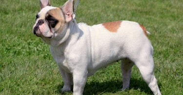 Small French Bulldog on the green grass