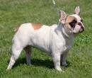 franzoesische-bulldogge-bully-frech-bulldog