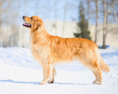 Golden retriever goldie