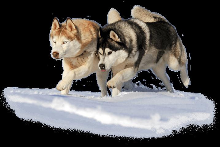Hunde Huskys