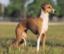 Italian Greyhound - Italienisches Windspiel