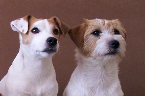 jack russell terrier- glatt und rauhaar