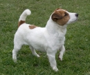 Jack Russell Terrier Russel