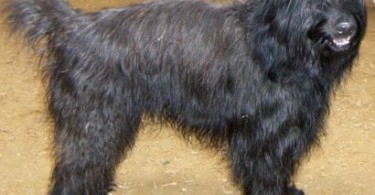 katalanischer hirtenhund