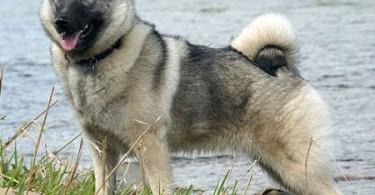 norwegischer-elchhund