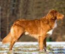 nova scotia duck tolling retriever - Toller