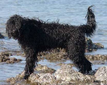 Portugiesischer Wasserhund - Cão de Agua Português