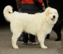 Pyrenäenberghund Berghund - Herdenschutzhund