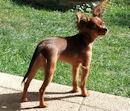 russkiy-toy Russischer Toy, Russischer Zwergspaniel, Moskauer Langhaariger Toy Terrier